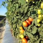Seminis open-field grape tomatoes.
