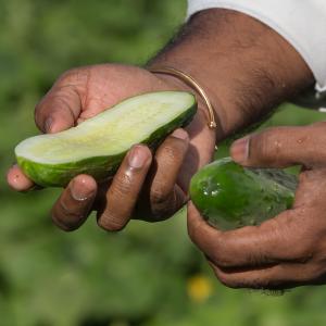 downy-mildew-cucumber-blog