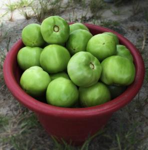 everglade tomato