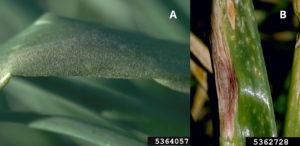 Figure 1. Symptoms of (A) downy mildew and (B) purple blotch. Howard F. Schwartz, Colorado State University, Bugwood.org