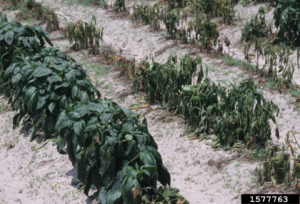 Wilting Pepper Plants Due To Phytophtora Blight