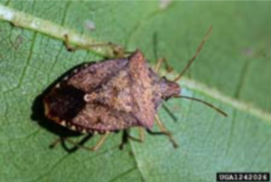 Photograph Of A Brown Stink Bug
