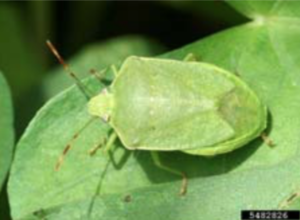 Photograph Of A Southern Stink Bug
