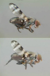 Male And Female Cornsilk Fly Examples