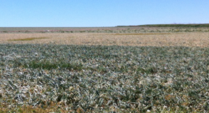 Onion Fields Showing Symptoms Of Infection