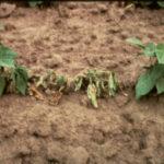 Pythium Infection In Bean Plant