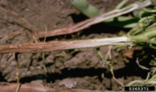 Reddish Root Discoloration On Bean Roots Caused By Fusarium Root Rot