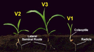 V1-V3 Growth Stages Of Corn Seedlings