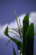 Corn Plant At VT Stage