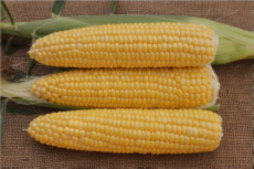 Milky Stage Of Corn Kernels