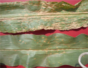 Southern Corn Leaf Blight Example