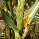 Southern Rust Pustules Infection Example
