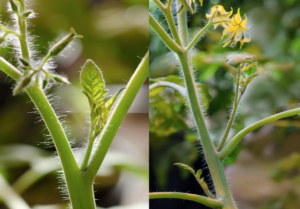 Fresh Market Tomato Pruning Involves Trimming Axillary Shoots Or Suckers On Tomato Plants