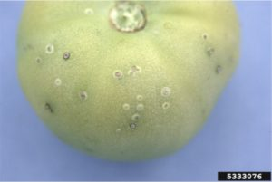 Tomato fruit infected with bacterial canker