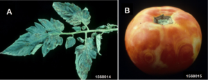 Some symptoms of Tomato Spotted Wilt
