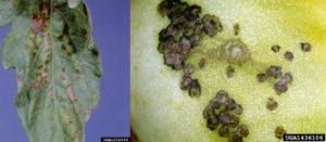 Symptoms of bacterial spot