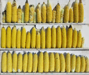 Types of sweet corn react to high populations