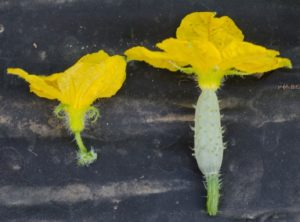 Image of a male and female cucumber