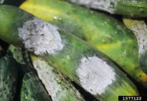 Cucumber infected with Phytophtora capsici.