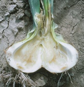 Image of soft rot in onions