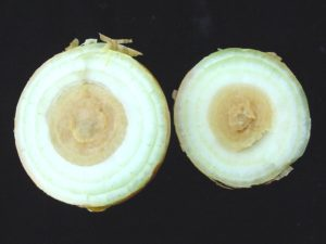 Image of center rot in onions