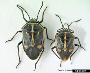 Female and male bagrada bugs